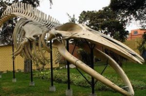 Esqueleto de ballena en museo historia natural